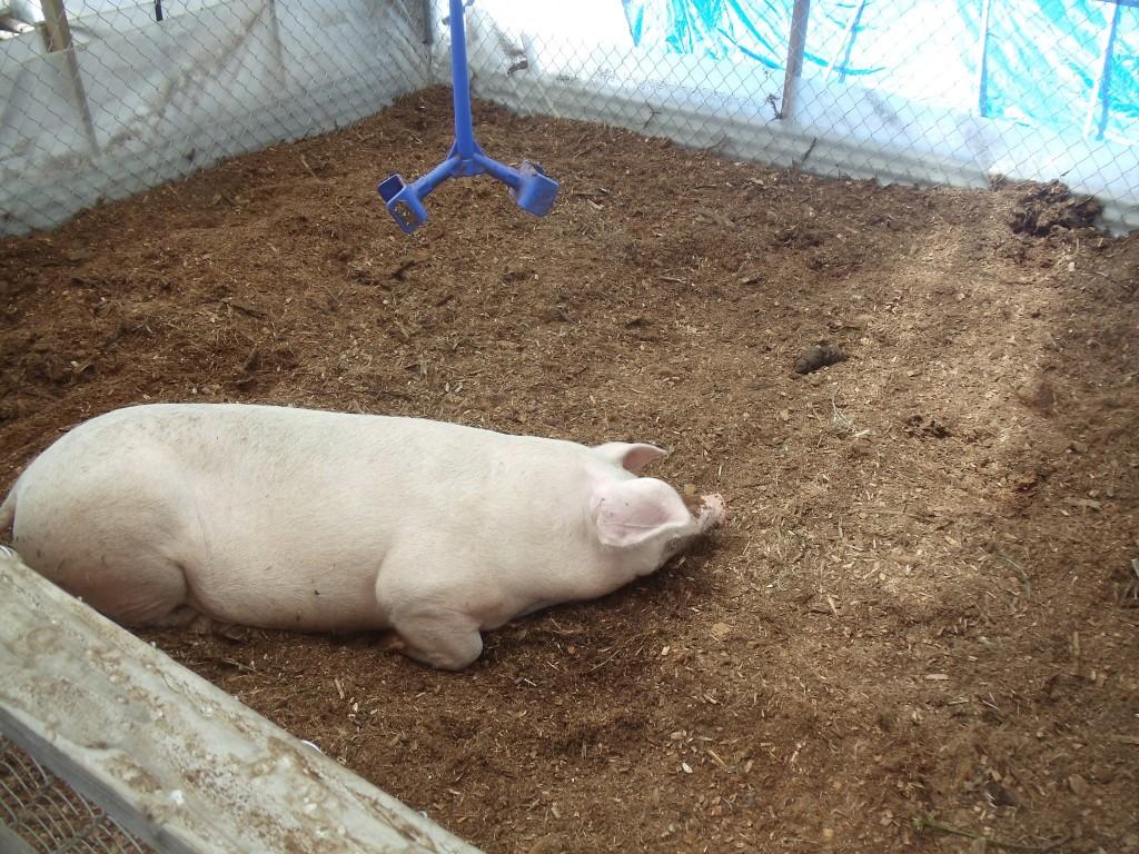 Odorless Pig Technology Natural Farming Hawai I